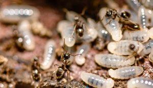 Pest Control Watsonia