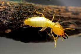 Termite Treatment Doncaster